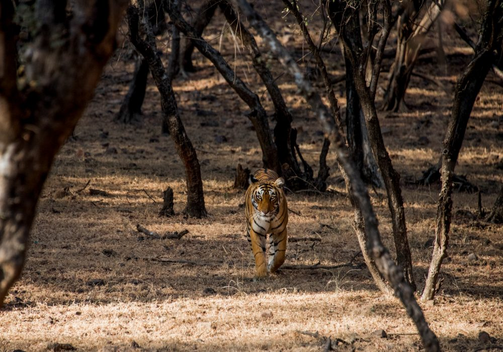 Bengal Tiger, Jeep Safari, Ranthambore National Park, Rajasthan, India | Bare Escape
