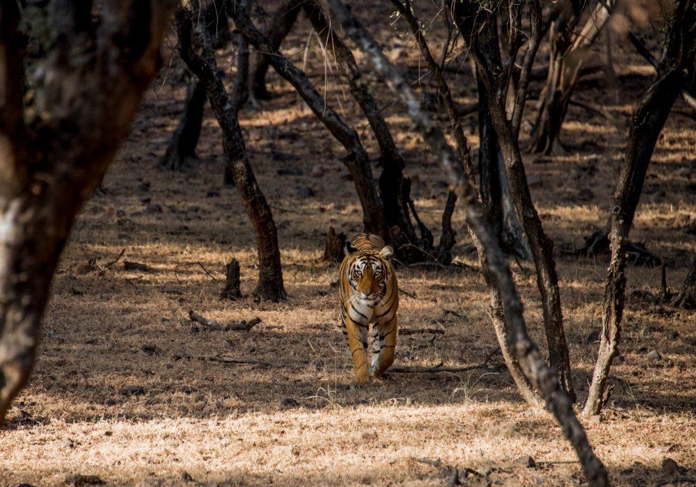 Bengal Tiger, Jeep Safari, Ranthambore National Park, Rajasthan, India | Bare Escape