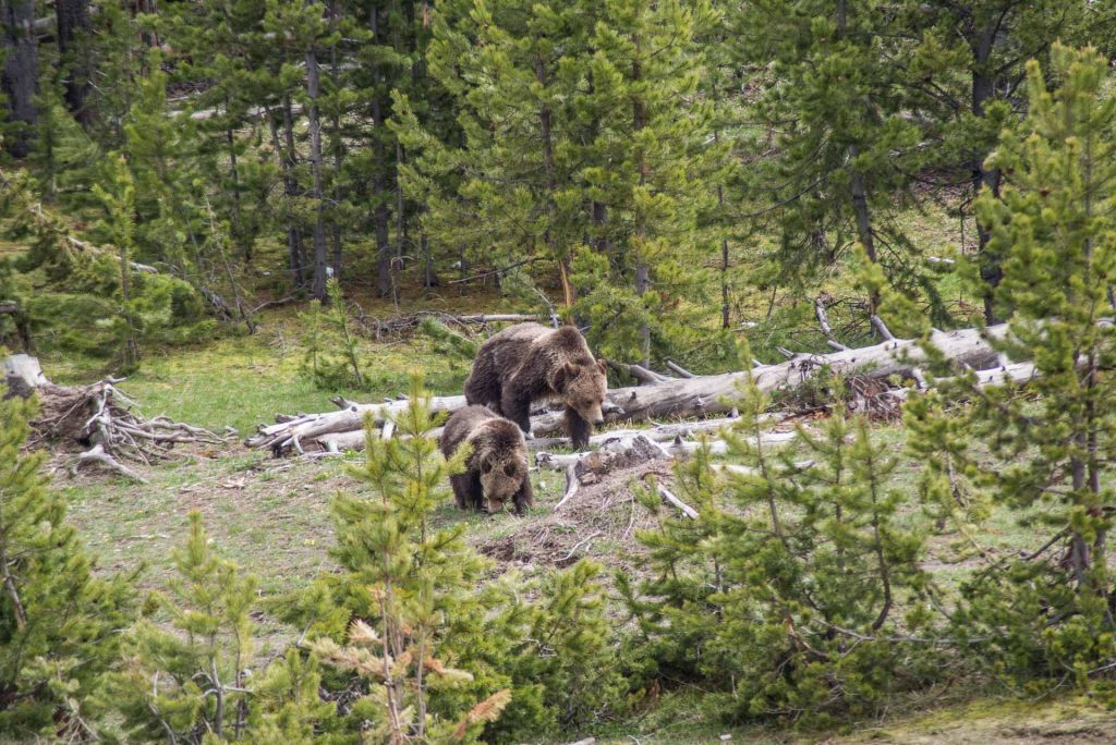Where To See Bears, Bison & More In Yellowstone National Park | Bare Escape